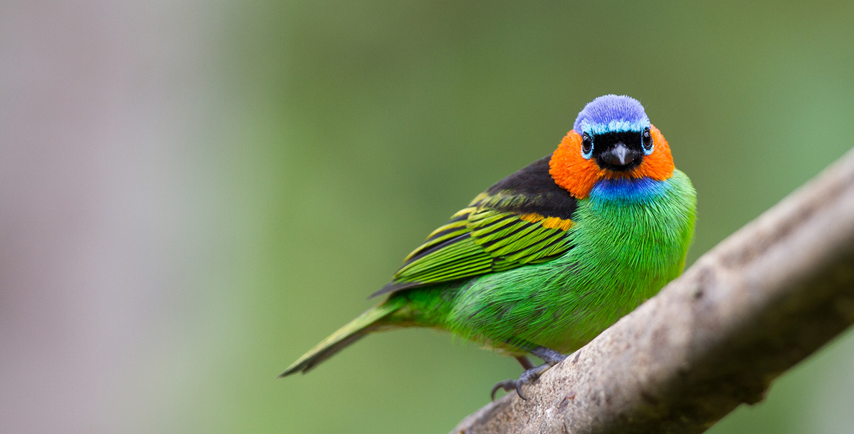 Tricolored bird